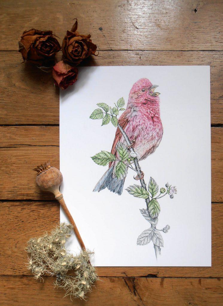 Illustration originale Alicia Pénicaud, reproduction d'art, affiche, illustration roselin cramoisi, illustration naturaliste, dessin oiseau, affiche oiseaux