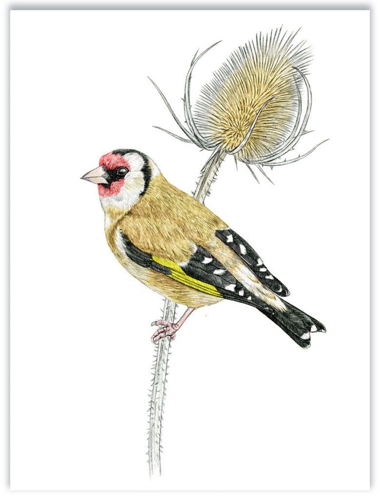 Illustration originale Alicia Pénicaud, illustration chardonneret élégant, illustration naturaliste, dessin oiseau, illustration naturaliste carduelis carduelis