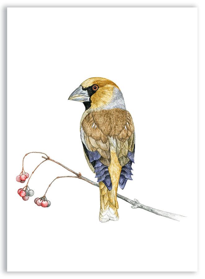 Illustration originale Alicia Pénicaud, reproduction d'art, illustration grosbec casse-noyaux, illustration naturaliste, dessin oiseau, affiche oiseaux