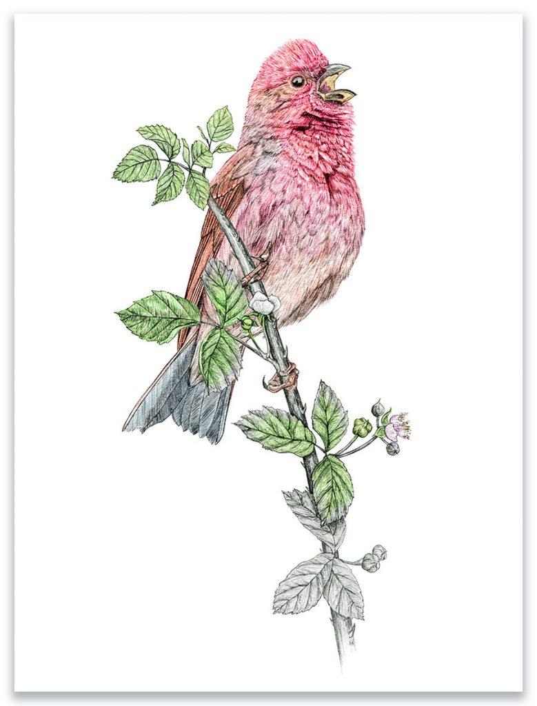 Illustration originale Alicia Pénicaud,  illustration roselin cramoisi, illustration naturaliste, dessin oiseau, illustration naturaliste passereau