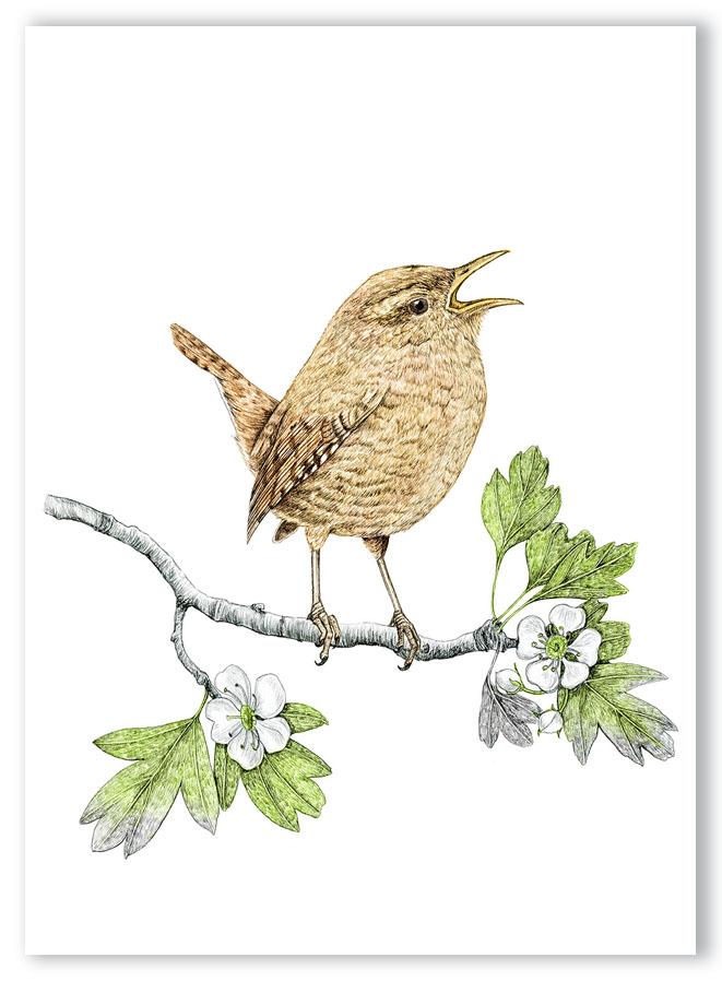 Illustration originale Alicia Pénicaud, reproduction d'art, affiche, illustration troglodyte mignon, illustration naturaliste, dessin oiseau,